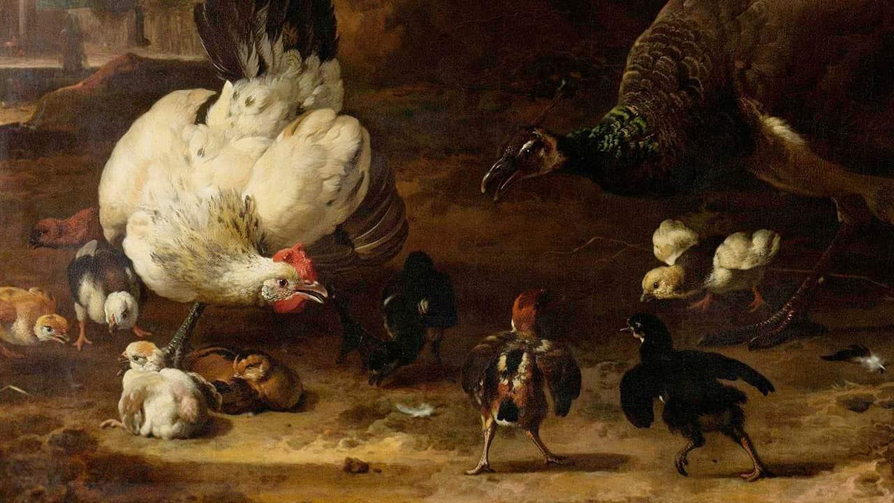 Como a galinha reúne os pintinhos!